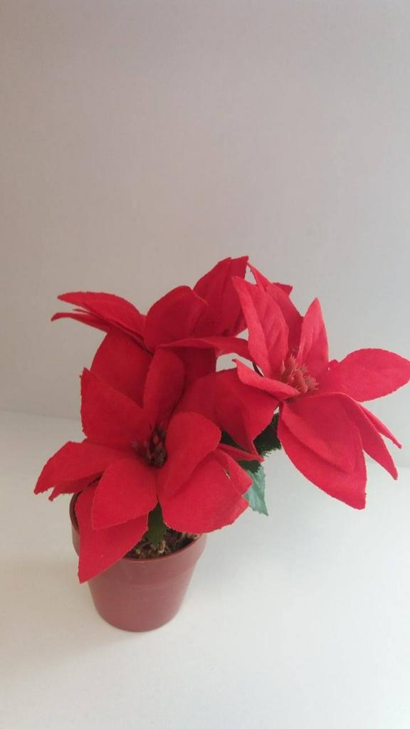 Floare decorativă Crăciuniță în ghiveci